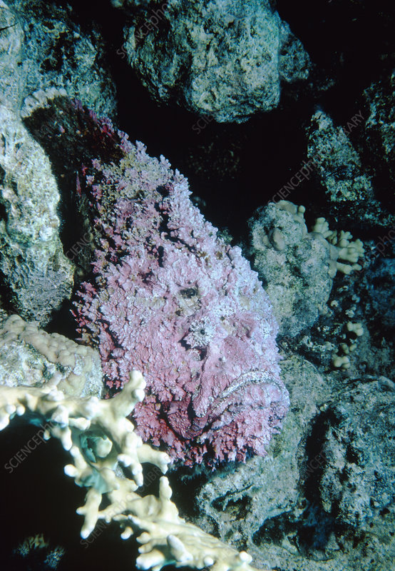Stonefish camouflaged