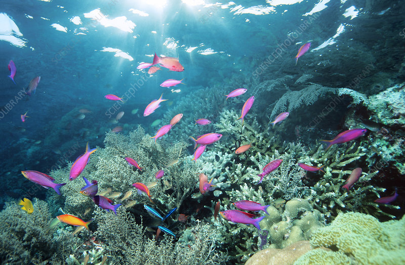 Purple anthias fish