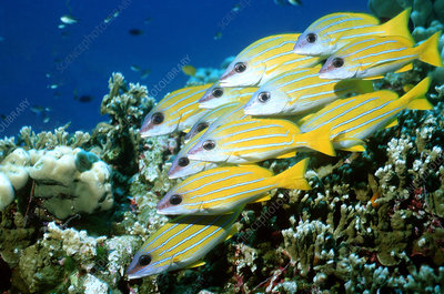 Blue-lined snappers
