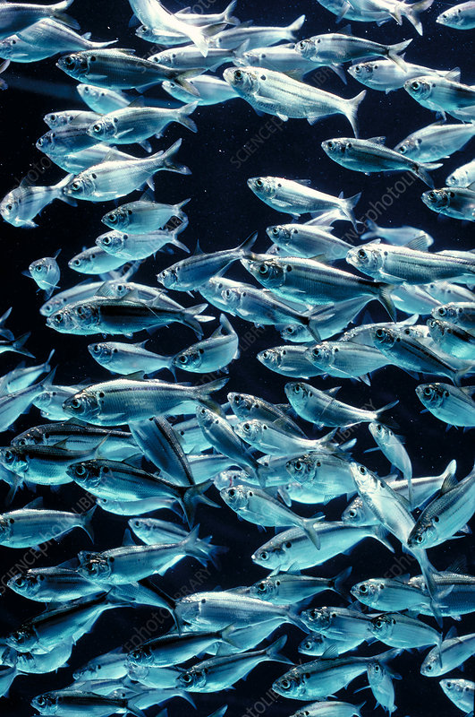 Threadfin shad shoal