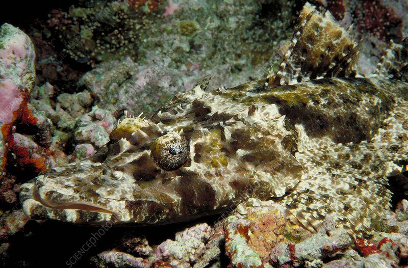 Crocodile flathead fish