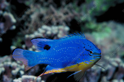 Southseas devil damselfish