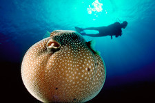 Pufferfish and diver