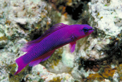 Orchid dottyback fish