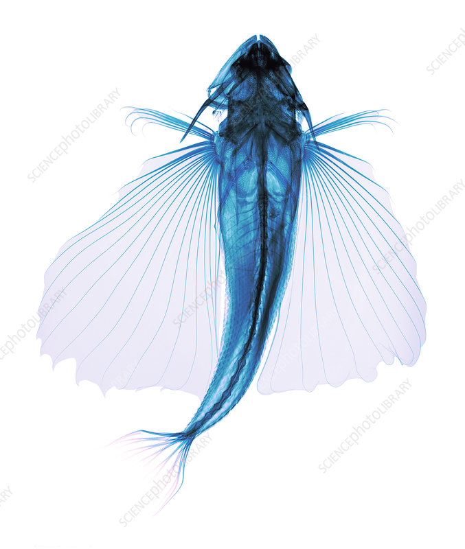 Flying fish, X-ray