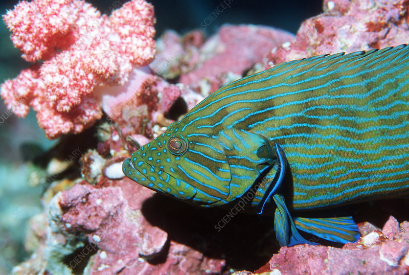 Bluelined hind grouper