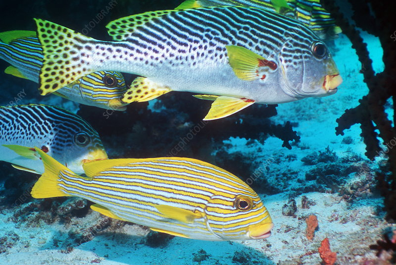 Lined and ribboned sweetlips fish