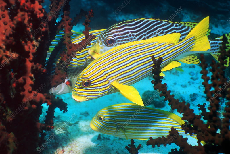 Celebes and lined sweetlips fish