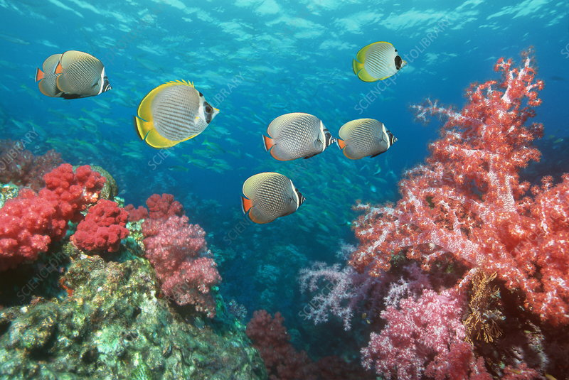 Butterflyfish over corals