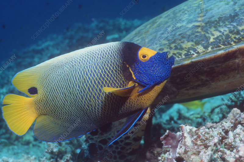 Blue-face angelfish
