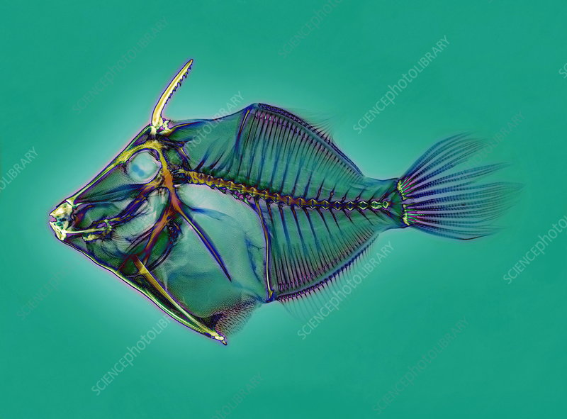 Triggerfish skeleton, X-ray