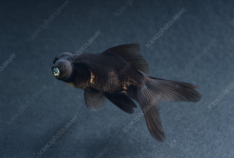 Black Moor ornamental fish