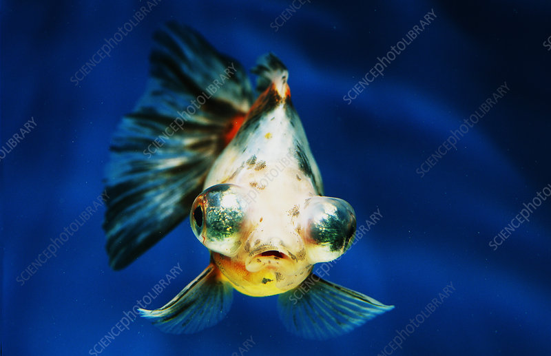 Calico telescope-eye goldfish