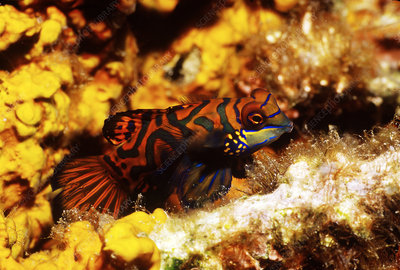 Mandarinfish, Indonesia