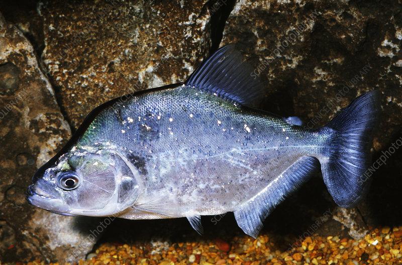 Gerys Piranha