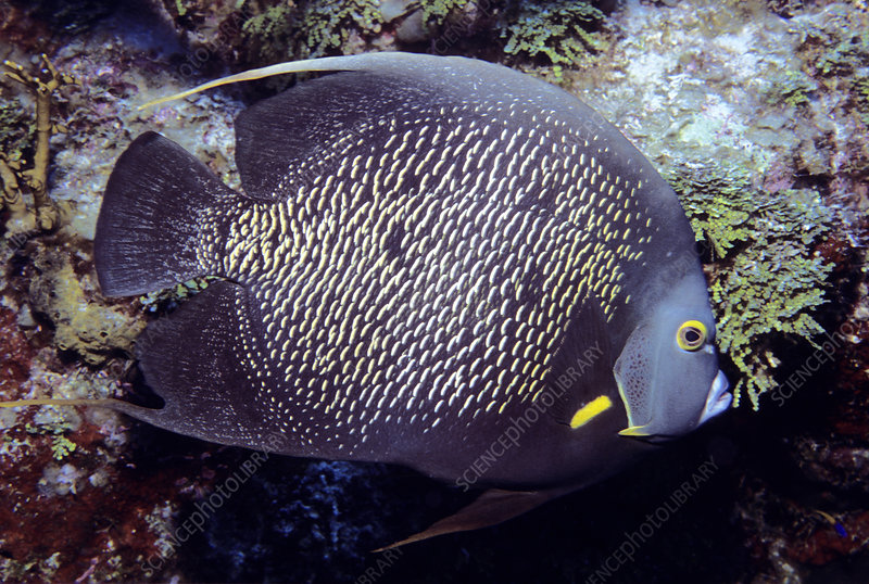 French Angelfish against coral