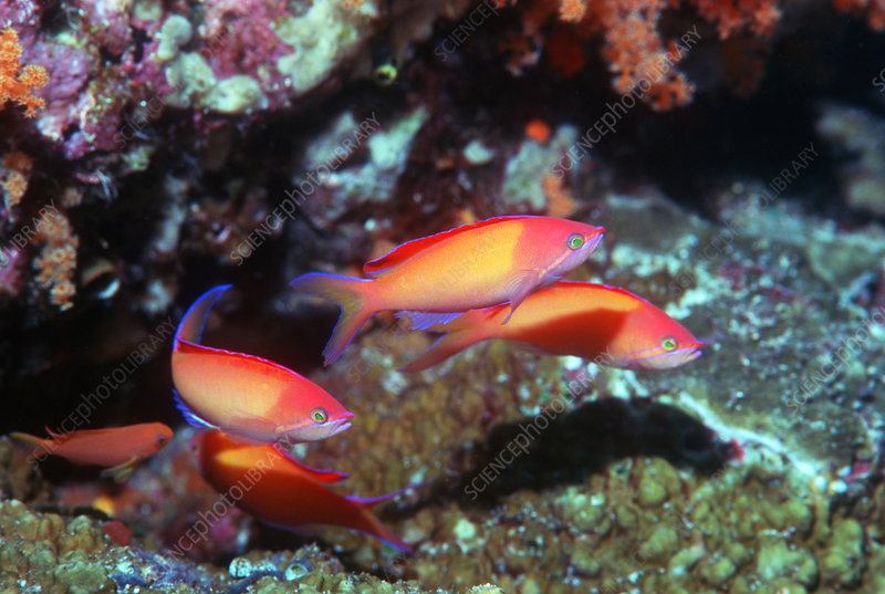 Peach anthias