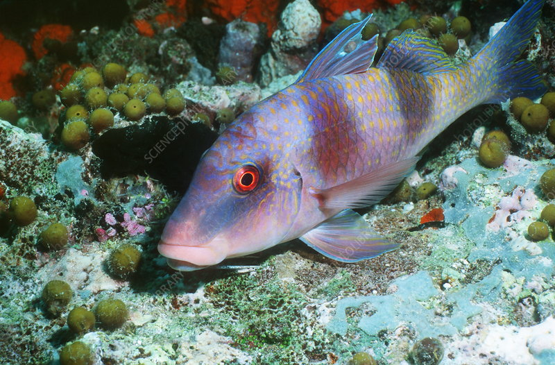Two-barred goatfish