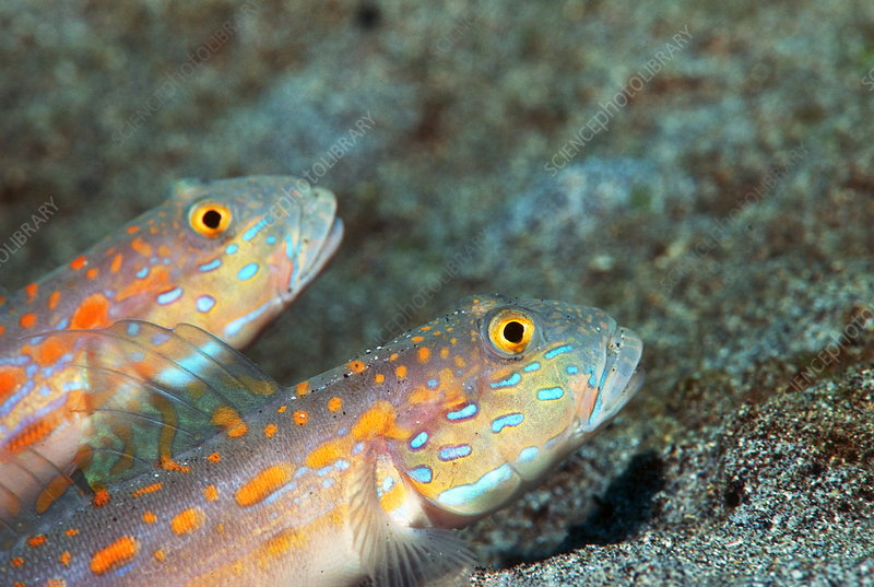 Maiden goby pair