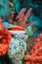 Young Forster's hawkfish