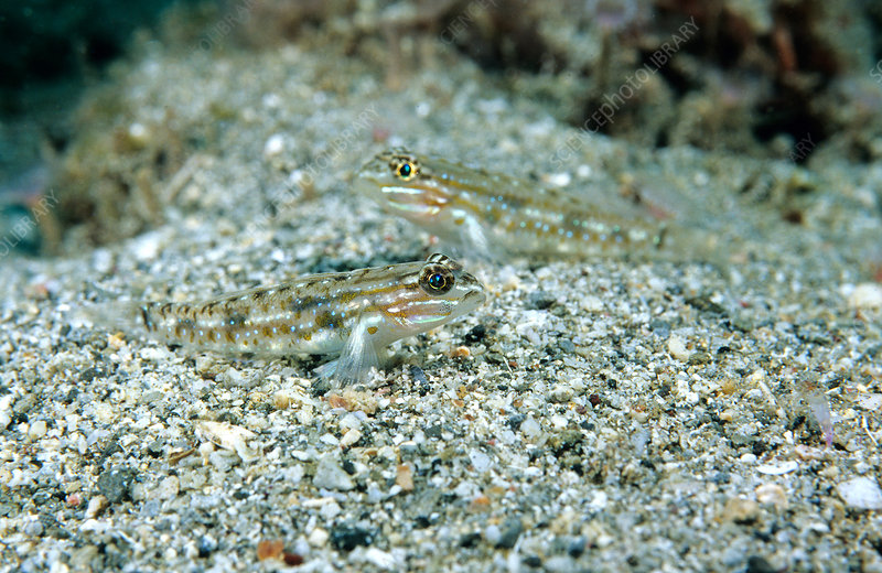 Bridled Goby (Coryphopterus glaucofraenum)