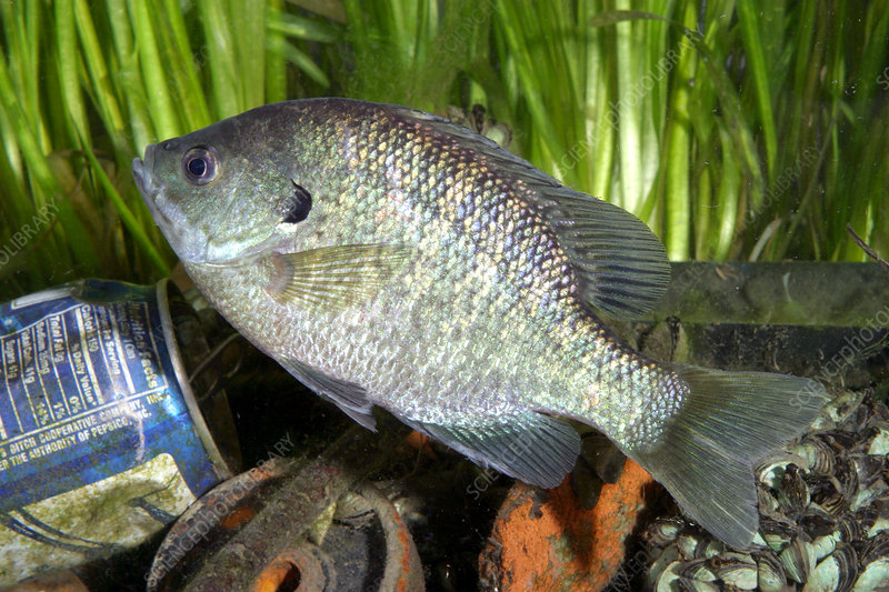 Bluegill in Polluted Water