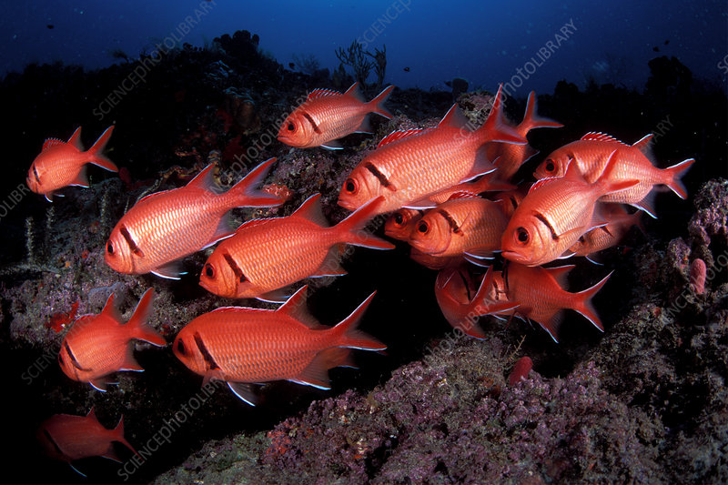 Black Bar Soldierfish