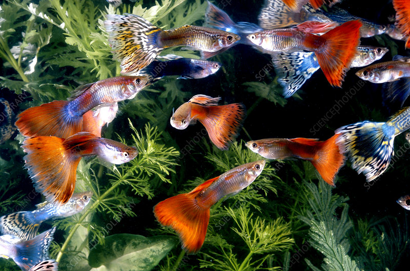 Guppies