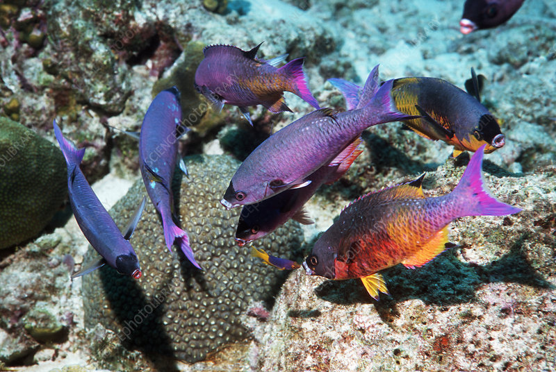 Creole wrasse at a cleaning station