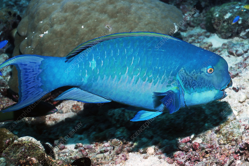 Turquoise-capped parrotfish