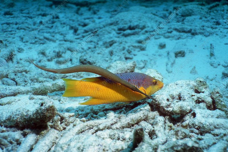 Trumpetfish with a Spanish hogfish