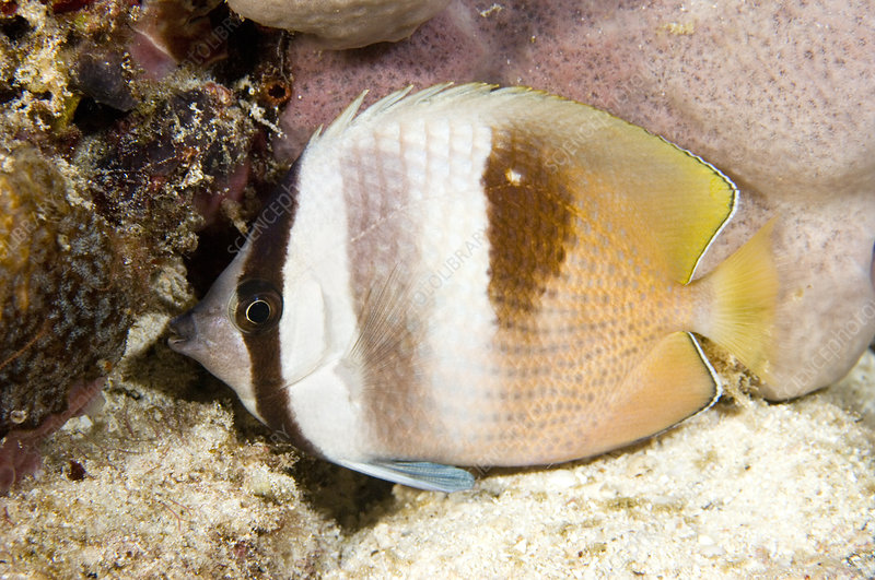 Sleeping butterfly fish