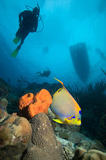 Angelfish and divers