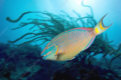 Stoplight parrotfish supermale