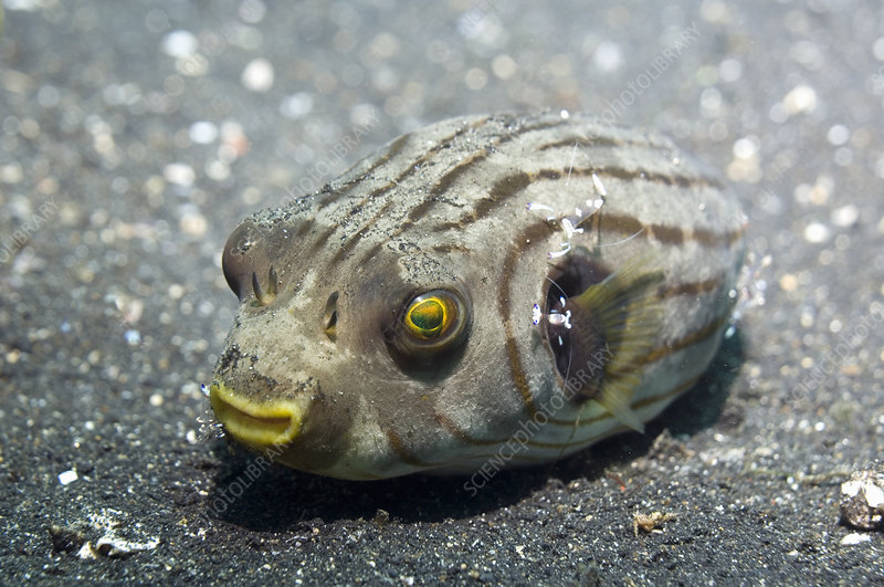 Manila pufferfish