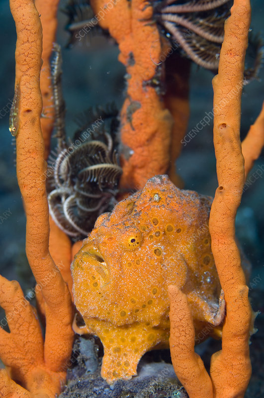 Large painted frogfish