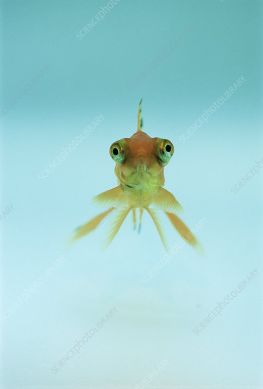 Telescopic eyed goldfish