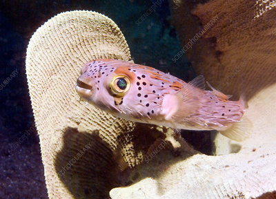 Round spotted porcupinefish