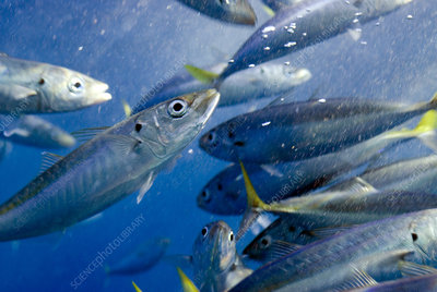 Scad mackerel fish