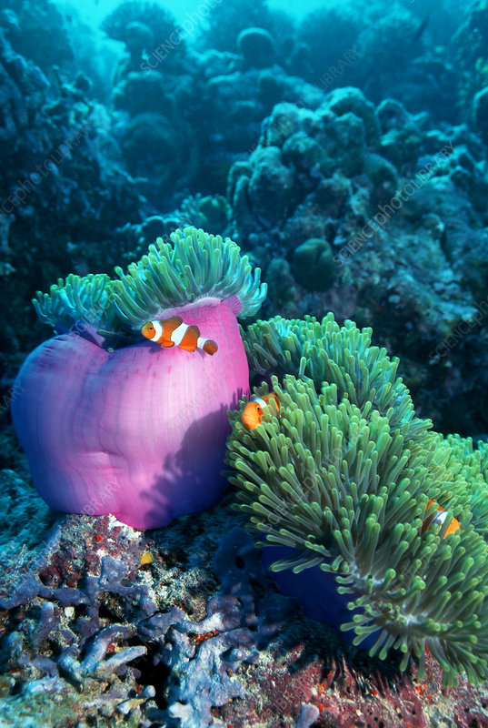 Ocellaris anemonefish
