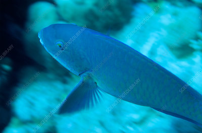'Parrotfish (Scarus sp.), Great Barrier Reef'