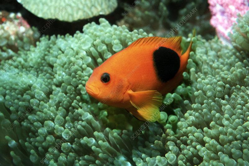 saddleback clownfish anemone symbiotic relationship