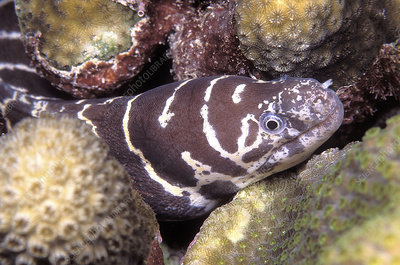 Juvenile Atlantic chain moray eel