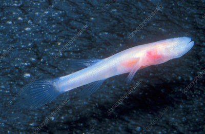 Southern Cave Fish