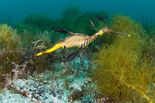 Common sea dragon