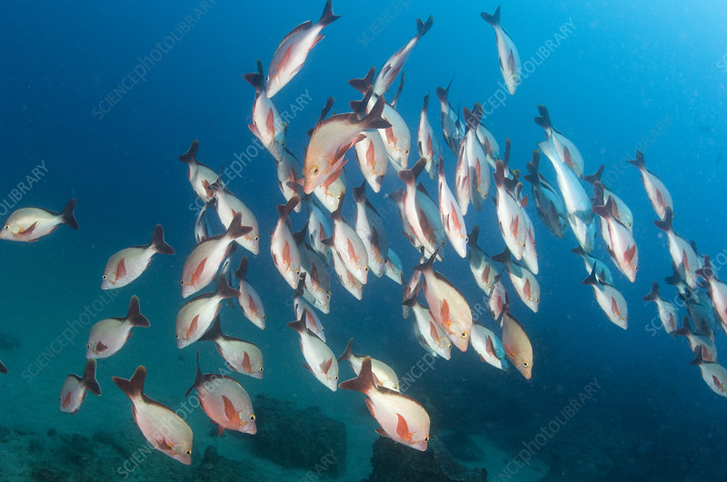 Humpback snappers