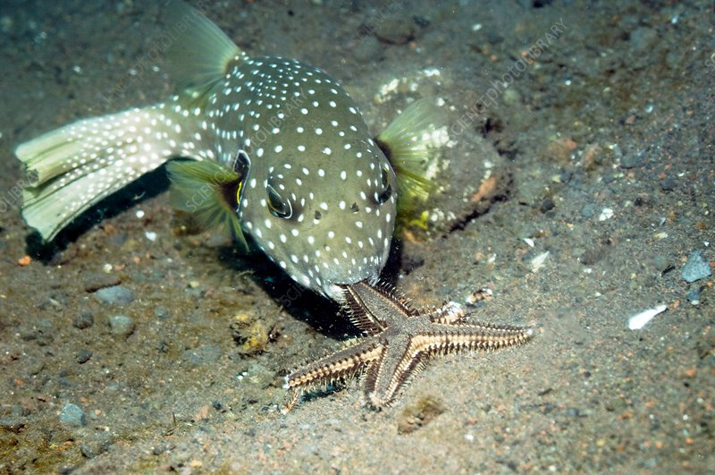 Whitespotted puffer feeding on a starfish