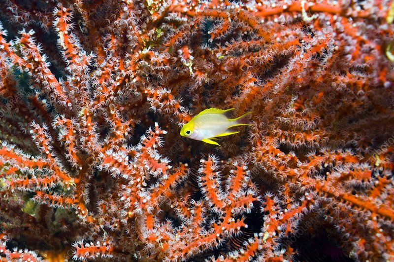 Golden damselfish with whip coral