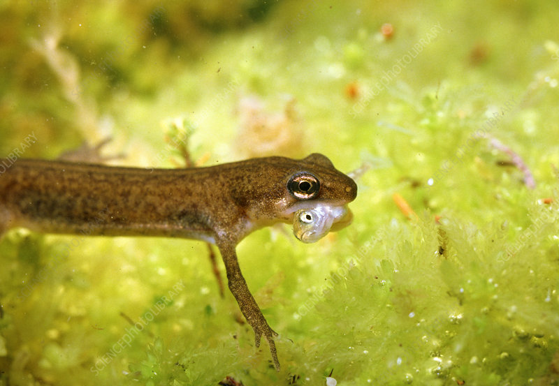 Palemate newt golding small stickleback in mouth