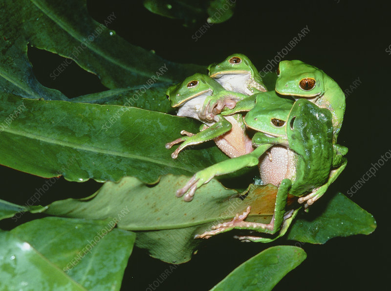 Mating green tree frogs